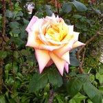 Qu'elle sentait bon cette rose !