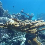 Large, healthy elkhorn coral!  An endangered species.