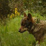 Bolota, one of the Iberian wolves at the centre
