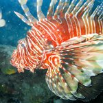 Lion Fish (Rascasse Volante)