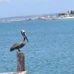 compañeros del descanso los pelicanos