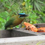 blue  crowned Mot-Mot at the feeder