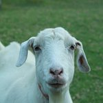Pollux, the goat