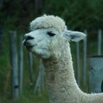 Anzac, the alpaca