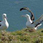 Albatross teenagers on the headland