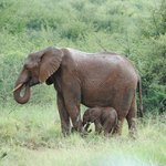Maman éléphant avec son petit de 1 jour