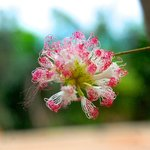 Belleza de flor, Monoloco, Churute