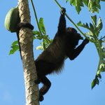 Howler Monkey in Papaya