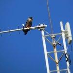 Bat Falcon at Lodge