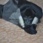 Playful Gibbon