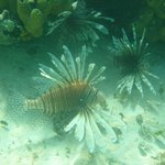 Lionfish are beautiful, but do not touch them!