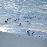 Little Blue Penguins on Pilots Beach