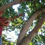 Picking figs