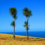 Cabbage trees -distinctively Aotearoa