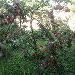 albero di prugne in giardino
