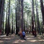 3 sequoie