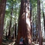 una sequoia