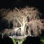 Famous tree in Maruyama Park