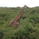 The giraffes came very close
