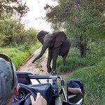 Encounter with a young bull elephant