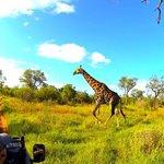 A giraffe crosses our path