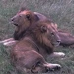 A pair of male lions
