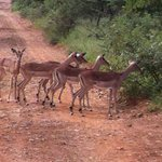 Passing impala herd