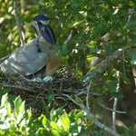 Boat-billed heron on eggs - near a small road