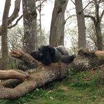 La sieste du gorille