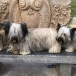 Skye Terriers on the bench at the park across the street from the Monument Inn.