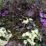 Anemones and Primroses beside the hiking trails