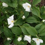 Trilliums - Ontario's provincial flower (we have red Trilliums too!)