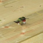 Baby hummingbird rests on our new deck