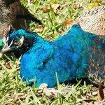 Peacocks roam wild here