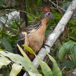Award-winning Hoatzin photo