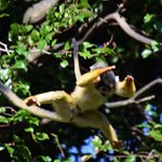 Jumping Squirrel Monkey
