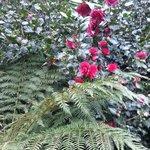 camelias in garden