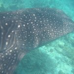 We swam with this lovely whale shark