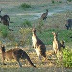 Kangaroos at dusk behind the property