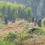 Farmers collecting sugar cane
