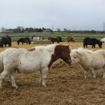 Bransby ponies
