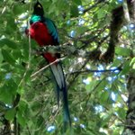 one of the quetzal pair