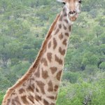 Saw these majestic giraffes!