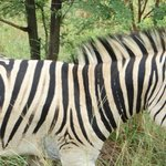 Saw lots of zebras.. had a few go past our vehicle close!  Nice surprise!
