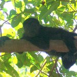 Local Howler Monkeys on property