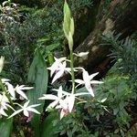"""Nun"" Orchids"