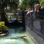 feeding the gators