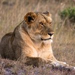 A local lioness