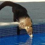 The local coati having a drink from the pool.