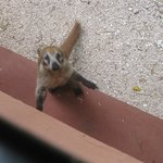 Coati, hotel wildlife